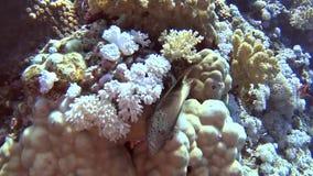 Escena tropical del arrecife de coral con hawkfish en corales duros almacen de video