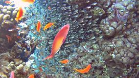 Escena tropical del arrecife de coral con los bajíos de glassfish y de anthias almacen de metraje de vídeo