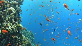 Escena tropical del arrecife de coral con los bajíos de pescados metrajes