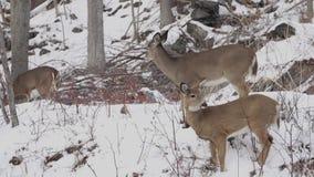 Escenas de ciervos en la nieve (4 de 4) almacen de video