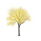 Esche mit gelben Blättern Lizenzfreies Stockbild