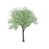 Esche mit grünen Blättern Stockfotos