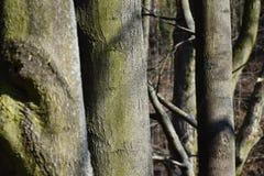 Eschen, bevor neue Blätter gebrochen sind lizenzfreie stockbilder