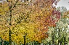 Eschen in einem Park im Herbst Stockfoto