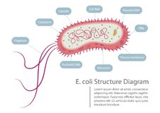 Escherichia coli Structure Diagram. Escherichia coli bacteria structure diagram vector illustration. E. coli info graphic
