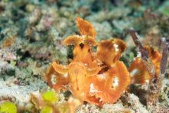 Eschmeyeri de Rhinopias O recife de Han - Gili Air Foto de Stock Royalty Free