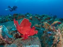 Free Eschmeyers Scorpionfish Stock Photography - 108058692