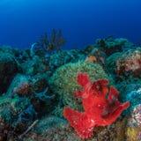 Eschmeyersscorpionfish stock afbeeldingen