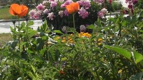 Escholzia-Sommerblumen im Garten stock video