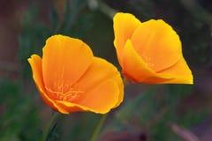 Eschscholtzia flowers Stock Image