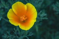 Eschscholzia californica,花菱草的领域在高峰开花的时间 免版税库存照片