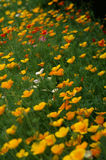 Eschscholzia Californica Royalty Free Stock Photos