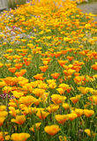Eschscholzia californica. It takes a picture in May stock image