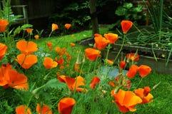 Eschscholzia Californica Royalty-vrije Stock Afbeelding