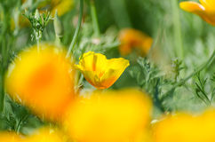 Eschscholzia californica Royalty Free Stock Photography