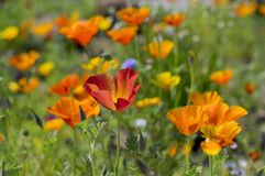 Eschscholzia californica cup of gold flowers in bloom, californian field, ornamental wild plants on a meadow. Eschscholzia californica cup of gold bunch of stock images