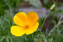 Eschscholzia californica cup of gold flowers in bloom stock photography