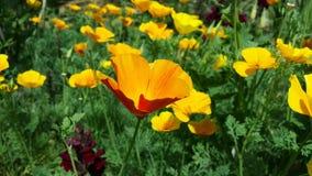 Eschscholzia californica - golden poppy flower in garden stock image