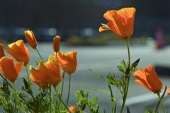 Eschscholzia Californica Gula och orange vallmovildblommor Kalifornien vallmo kalifornisk vallmo guld- vallmo Kalifornien sunli Arkivfoton