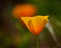 Eschscholzia californica isolated. Isolated orange poppy in full bloom, wildflower Eschscholzia californica Stock Image