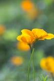 Eschscholzia californica Royalty Free Stock Image