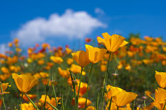 Eschscholzia californica Stock Photography