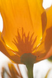 Eschscholzia californica, yellow and orange poppy wild flowers. Royalty Free Stock Photography