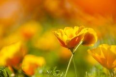 Eschscholzia californica, yellow and orange poppy wild flowers. Stock Images