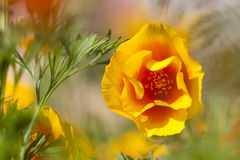 Eschscholzia californica, yellow and orange poppy wild flowers. Royalty Free Stock Images