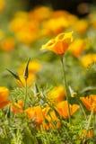 Eschscholzia californica, yellow and orange poppy wild flowers. Royalty Free Stock Image
