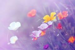 ¡Eschscholzia colorido! Foto de archivo libre de regalías
