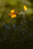 Eschscholzia early morning. Royalty Free Stock Image