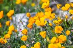 Eschscholzia för Kalifornien vallmo som californica blommar på kullarna av södra San Francisco Bay område i vår royaltyfri bild