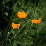 Eschscholzia orange poppy flowers vintage feel Royalty Free Stock Photography