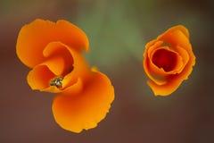 Eschscholziacalifornica, gele en oranje papaver wilde bloemen Stock Foto
