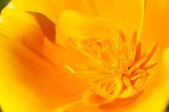 Eschscholziacalifornica, gele en oranje papaver wilde bloemen Stock Foto's