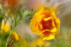 Eschscholziacalifornica, gele en oranje papaver wilde bloemen Royalty-vrije Stock Afbeeldingen