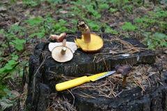 Esclarecimento do cogumelo Fotografia de Stock