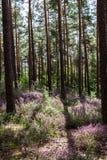 Esclarecimento ensolarado com urze de florescência no meio de uma floresta fotografia de stock