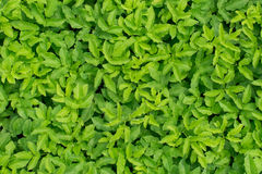 Esclarecimento verde-claro nas madeiras Fotos de Stock