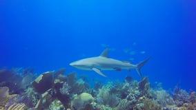 Escluda le prese che si esfoliano su uno squalo caraibico della scogliera in Jardin de la Reina, Cuba stock footage