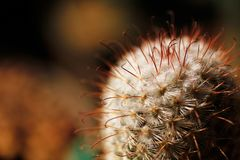 Escobaria nipple cactus with long and short spines Stock Photo