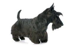 Escocés Terrier Imagenes de archivo