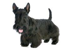 Escocés Terrier Imagen de archivo