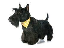 Escocés Terrier Imagen de archivo libre de regalías