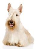 Escocés Terrier en frente Aislado en el fondo blanco Fotos de archivo libres de regalías