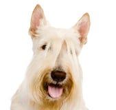 Escocés Terrier en vista delantera Aislado en el fondo blanco Imágenes de archivo libres de regalías