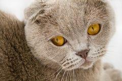 Escocês-dobre o gato Fotografia de Stock