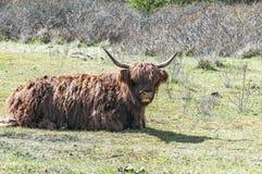 Escocês escocês que encontra-se em um campo de grama imagem de stock