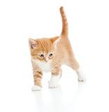 Escocés del gatito del gato en el fondo blanco Fotos de archivo